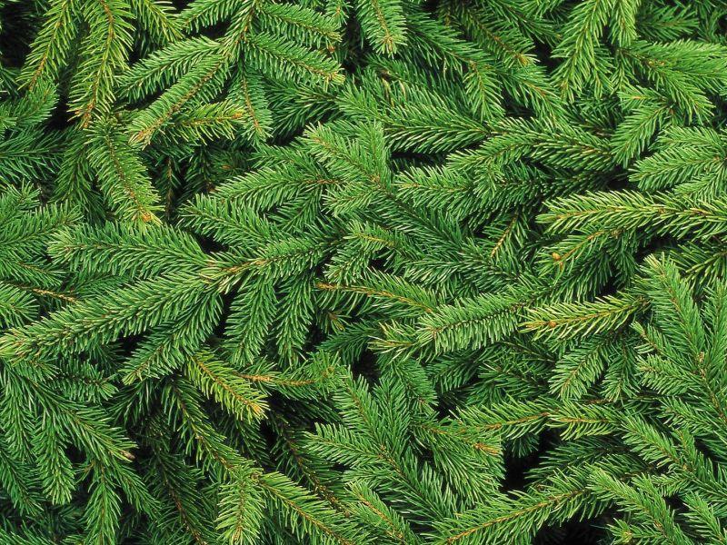 Na zdjęciu zielone gałęzie choinki w dużym zbliżeniu.